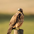 Hawk On The Edge Of A Field by Jeff Swan