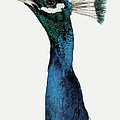Head And Neck Of A Peacock by Digital Zoo