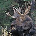Head Study Of Bull Moose by Jean Clark