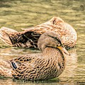 Headless Honey Duck Toned by Don Northup