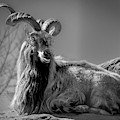 Markhor Goat by Philip Rispin