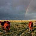 Heifers And Rainbow by Rob Graham