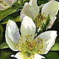 Hellebore  by Alfred Ng