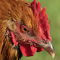 Hen Pecked by Jean Noren