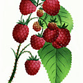 Hepstine Raspberries Hanging From A Branch by Nikki Vig