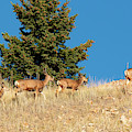 Herd Of Colorado Deer by Steve Krull