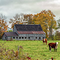 Herefords In Fall by Rod Best