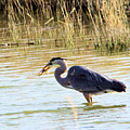 Heron Capturing A Fish by Jeff Swan