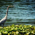Heron In The Lily Pads by JasoBones Photography