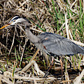 Heron In The Marsh Shadows by Sue Harper