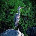 Heron On The Rocks by Lora J Wilson