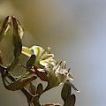 Hesperaloe Parviflora Flower In Sepia Tones by Colleen Cornelius