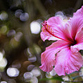 Hibiscus Flower Bloom by Pablo Avanzini