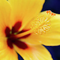 Hibiscus Lemon Drop Tropical Fancy Flowers by Sharon Mau