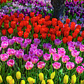 Hidden Garden Of Beautiful Tulips by Garry Gay