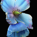 Himalayan Blue Poppy by Cindy Manero
