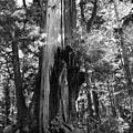 Historic Cedar by Jeni Gray