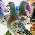 Homing Pigeon Group Swirly by Don Northup