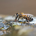 Honey Bee Drinking Water by Tim Gainey