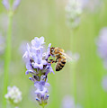 Honey Bee On Lavender by Tim Gainey