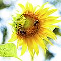 Honey Bees On Sunflower by Ola Allen