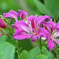 Hong Kong Orchid Tree Dthn0263 by Gerry Gantt