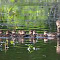 Hooded Merganser And Her Ducklings Dwf0202 by Gerry Gantt