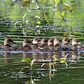 Hooded Merganser Ducklings Dwf0203 by Gerry Gantt