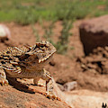 Horned Lizard by David Cutts