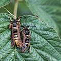 Hornet Moths by Robert Potts