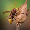 Hornet On Twig by Marco Fischer