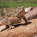 Horny Toad by David Cutts