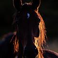 Horse Portrait In Back Lit by Torbjorn Swenelius