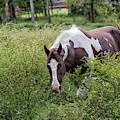 Horse Print 578 by Paulette Thomas
