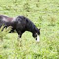 Horse Print 828 by Paulette Thomas