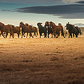 Horses Gallop On The Iceland Plateau by Coolbiere Photograph