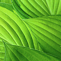Hosta Leaves by Photograph By Judith Green