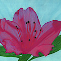 Hot Pink Azalea by D Hackett