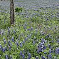 House With Bluebonnets by Patti Schulze