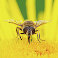 Hoverfly On A Yellow Flower Macro by Scott Lyons