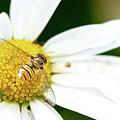 Hoverfly On White Flower by Scott Lyons