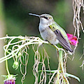 Hummingbird 105 by Lizi Beard-Ward