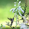 Hummingbird And Hosta Flowers by Trina Ansel