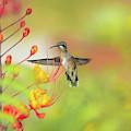 Hummingbird And Pride Of Barbados  by Cecilio Martinez