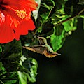 Hummingbird And Red Hibiscus In The Garden by Lynn Bauer