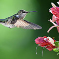 Hummingbird Arrives At Flower by William Jobes