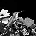 Hummingbird Black And White by Christina Rollo