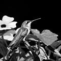 Hummingbird Black And White by Christina Rollo