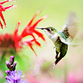 Hummingbird Fancy by Christina Rollo