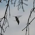 Hummingbird In Action by Randy J Heath